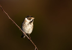 Reed Bunting (microwyred) Tags: forestwoods beak nature birds colorimage beautyinnature oneanimal songbird animal small birdwatching feather reedbunting outdoors tree places uptonwarren bird animalsinthewild closeup twig wildlife perching branch worcestershire trust