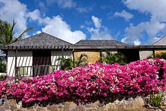 An Abundance of Bougainvillea (Colorado Sands) Tags: bougainvillea caribbean sandraleidholdt antigua leewardislands westindies house flowers blossoms plant antiguaandbarbuda