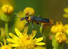 Plague Soldier Beetle Chauliognathus lugubris (Neil Cheshire) Tags: plaguesoldierbeetle chauliognathuslugubris beetle cantharidae tolderol africandaisy seneciopterophorus asteraceae