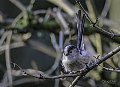 Long-tailed tit. (vickyouten) Tags: longtailedtit wildlife britishwildlife wildlifephotography nature naturelovers nikon nikond7200 nikonphotography sigma sigma150600mm penningtonflash leigh uk vickyouten