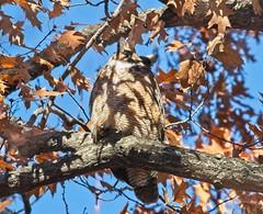 Great horned owl (Goggla) Tags: centralpark great horned owl greathornedowl nyc new york manhattan central park urban wildlife bird explore