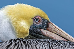 Brown Pelican (noblesgeorge1) Tags: