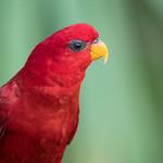 Red lory (Eos bornea) thumbnail