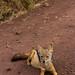 East African jackal