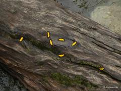 Geometer Moths, Xanthyris flaveolata (Ecuador Megadiverso) Tags: andreaskay ecuador geometermoth geometridae moth xanthyrisflaveolata