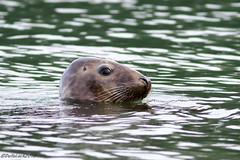 Seal (Georgiegirl2015) Tags: seal wildlife animal mammal devon dellalack wildlifephotography broadsands seaside sea canon ef300mm 7dmkii nature december2018
