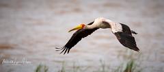 Stork Yellow-billed (michael heyns) Tags: 2018 storks tanzania bird yellowbilledstork ciconiidae mycteriaibis