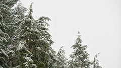 Hemlocks in the snow (Matthew James Lewis) Tags: washingtonstate washington winter snow sky hemlocktrees landscape trees bigquilvalley onthejob olympicpeninsula olympicnationalforest