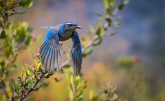 California Scrub Jay ready to bounce Inceville Los Angeles California (pekabo90401) Tags: canon camaraderie canon80d 80d 100400 pekabo90401 pacificpalisadesbirds inceville ibon friendship fugl canyonmonkey lightroom lind loslionescanyon southerncaliforniabirds birdwatching birdwatchinglosangeles characaliforniana geaibuissonnier aphelocomacalifornica californiascrubjay jay scrubjay wesen vogel oiseau happybirthdayw9