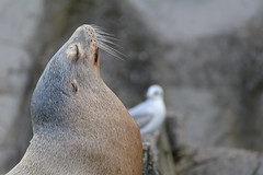 I Don't Talk To Seagulls! (Alfred Grupstra) Tags: animal wildlife sealion nature sea sealanimal mammal beach bird outdoors animalsinthewild coastline colony antarctica closeup atlanticocean oneanimal sleeping peninsula aquaticmammal seagull 991