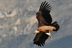 vautour (frederic.laroche6) Tags: vautour fauve verdon alpes provence nikon oiseau bird animalier