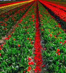 Color Play (BeNowMeHere) Tags: ifttt 500px tulips cultivated land fruit tree field plantation cultivation lush flower bed rural boulevard monoculture foliage amsterdam benowmehere colorful colorplay colors colourful colours flowers garden keukenhof lisse nature netherlands spring travel trip