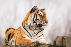 Waiting (Future-Echoes) Tags: 4star 2017 amurtiger animal bokeh colchesterzoo depthoffield dof stare tiger waiting zoo