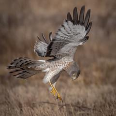 Gray Ghost (Kevin E Fox) Tags: grayghost northernharrier male raptor lawrenceville newjersey polefarm bird birding birdwatching birds birdofprey sigma150600sport sigma nature nikond500 nikon