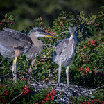 Two Great blue heron chicks at Venice Rookery, Venice, Florida thumbnail