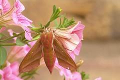 Weinschwärmer (alfred.reinartz) Tags: schmetterling nachtfalter weinschwärmer insekt insect