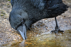 Finding Water (NikonNigel) Tags: copyright©nigelcox crow clever rspb sandy