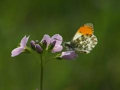 Aurorafalter (alfred.reinartz) Tags: schmetterling aurorafalter falter insekt insect butterfly