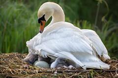 The little family (Mary Bassani) Tags: swan swans cigni cisne addariver adda wildlifephotographer wildlife birds bird white whitenature canonphotographer italy