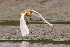 Ardeola ralloides, Κρυπτοτσικνιάς, Squacco Heron (belas62) Tags: ngc bif greece ερωδιόσ πουλί bird macedonia μακεδονία γαλλικόσποταμόσ γαλα
