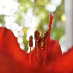 Amaryllis bokeh - (rotraud_71) Tags: autumn flower bokeh amaryllis macro minimal