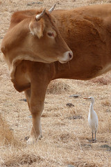 Cattle Egret (Bubulcus ibis) (Brian Carruthers-Dublin-Eire) Tags: cattle egret bubulcus ibis cattleegret bubulcusibis western westerncattleegret bird animalia animal wildlife nature ciconiiformes ardeidae héron gardeboeufs kuhreiher garza ganadera airone guardabuoi koereiger hérongardeboeufs garzaganadera aironeguardabuoi castroverde portugal grass landscape sheep forest sky field tree aves avian