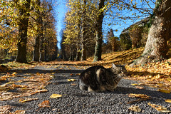 My cat. (gillesfrancotte) Tags: 2018 autumn chat november outdoor animal cat fall indiansummer jaune leaves nature novembre pet trees yellow étéindien