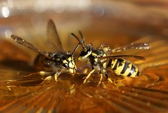 Wespe / yellowjacket (2) (Ellenore56) Tags: 16112018 wespe wespen yellowjacket wasp echtewespe vespinae hornet papierwespen insekt insect stinger tier animal animals lebewesen creature beneficialorganism usefulanimal tropfen drop drops tröpfchen droplet fauna tierwelt natur nature detail moment augenblick sichtweise perception perspektive perspective reflektion reflexion reflection farbe color colour licht light inspiration imagination faszination magic magical sonyslta77 ellenore56