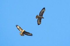 Pair of Common Buzzard (DGooding89) Tags: common buzzard flight flying bird prey raptor