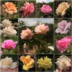 Late Summer Roses (Tölgyesi Kata) Tags: rosen rosa rose rózsa rózsakert rosegarden tuzsonjánosbotanikuskert botanikuskert botanicalgarden withcanonpowershota620 mosaic mozaik flower rosier blossom fleur virág nyíregyháza collage summer nyár august hand kéz