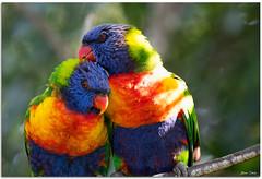 Rainbow Lorikeets Necking (Bear Dale) Tags: rainbow lorikeets necking ulladulla southcoast new south wales shoalhaven australia beardale lakeconjola fotoworx milton nsw nikond850 photography framed nature nikon d850 nikkor afs 200500mm f56e ed vr parrot parrots colourful colorful color colour