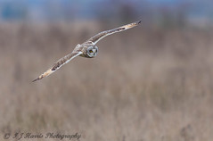 Short eared owl .     Asio flammeus (ian._harris) Tags: d7200 nikon sigma 500mmf405 wildlife nature owl shorty short bird fen birdofprey asioflammeus