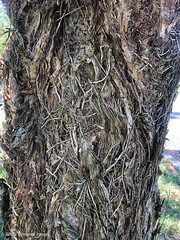Melaleuca linariifolia - snow-in-summer, narrow-leaved paperbark, flax-leaved paperbark (Black Diamond Images) Tags: midnorthcoast nsw coolongolook bulahdelah pacifichighway chapmanrestarea fibrousbark fibrousroots roots bark narrowleavedpaperbark snowinsummer myrtaceae melaleucalinariifolia melaleuca trunk topitopi appleiphonex iphonex iphone iphonexbackcamera