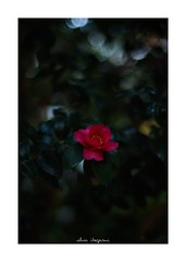 2018/11/16 - 3/18 photo by shin ikegami. - SONY ILCE‑7M2 / Carl Zeiss C Sonnar T* 1.5/50 ZM (shin ikegami) Tags: 山茶花 flower 花 macro マクロ 井の頭公園 吉祥寺 autumn 秋 sony ilce7m2 sonyilce7m2 a7ii 50mm carlzeiss sonnar csonnar50mmf15 tokyo sonycamera photo photographer 単焦点 iso800 ndfilter light shadow 自然 nature 玉ボケ bokeh depthoffield naturephotography art photography japan earth asia