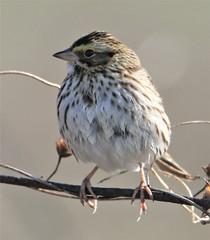 Eastern Savannah Sparrow (Passerculus sandwichensis savanna) 12-12-2018 Long Neck Road, St. Mary's Co. MD 4 (Birder20714) Tags: birds maryland sparrows emberzidae passerculus sandwichensis savanna