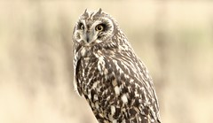 Short Eared Owl........ (Mick Lowe) Tags: owl shorteared wild wildlife asio flammeus perched