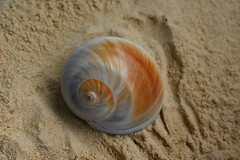 Moon snail (MyFWCmedia) Tags: mollusc gastropod snail moonsnail nature outdoors wildlife beach coastal floridafishandwildlifeconservationcommission fwc predator florida usa beachtreasure treasure saltwater marinelife