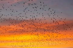 Brighton Starling Murmuration (lomokev) Tags: file:name=1901095dmrk3b0755 canoneos5d canon eos 5d nature starlings sunset starling murmuration orange brighton bird birds flock sky