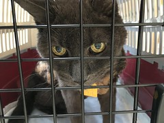 Bonkers' Regular Outing (sjrankin) Tags: 18january2019 edited animal cat cage carrier catcarrier vet vetclinic kitahiroshima hokkaido japan bonkers