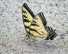 Tiger Swallotail (kaw209) Tags: etsy kwinkelerphotos butterfly bug puddling francismarionnationalforest nikond7200 insect cnpa tigerswallowtail sc