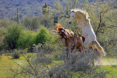 _V5A2155 (littlebiddle) Tags: arizona wildhorse saltriver nature wildlife