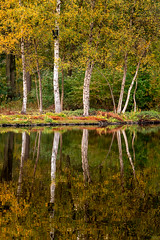 Autumn (genf) Tags: autumn herfst trees bomen berken birches reflections weerspiegelingen sony a99ii 70300 outdoor nature natuur buiten