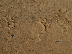 Trackway (Dru!) Tags: trackway dust dirt road bc britishcolumbia canada lillooet bear tracks horse paw hoof