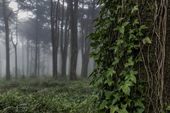 Misty Woods (jorgeverdasca) Tags: sintra nature woodland leaves goth 5dmark4 canonphotos forest mist portugal ivy trees