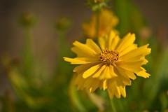 Tickseed (pstenzel71) Tags: blumen natur pflanzen samyang135mm20 samyang135mm2020tc tickseed coreopsis mädchenauge samyang darktable flower bokeh