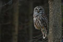 Barred Owl (Rob E Twoo) Tags: owl wildlife naturaleza canada ontario explore discover nature