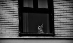 The observer (marcus.greco) Tags: dog blackandwhite window street portrait animal