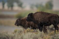 Brothers (Samuel Raison) Tags: bisons bison buffalo bufallos wildlife nature naturephotography wildlifephotography photographieanimalière animal faune animauxsauvages nikon nikon4600mmafsgvr yellowstone yellowstonenationalpark yellowstonewildlife