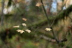 _DSC4844 (kymarto) Tags: bokeh bokehlicious bokehphotography dof depthoffield flowers flowerphotography nature naturephotography beauty beautiful sony sonyphotography sonya7r2 oldlens vintagelens autumn woods leaves forest