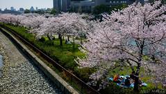 Kema Sakuranomiya Park - Osaka (Noti NaBox) Tags: osaka sakura sakuranomiya parc park hanami japan japon castle château lumix lumixg80